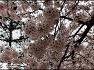 경기도청 평화의 봄 벚꽃축제 현장!