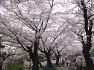 송정공원 만개한 벚꽃