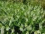 대구수목원에 향수나 염료로사용 항염증작용을 하는 안젤로니아(신선초),꽃,효능,전설.