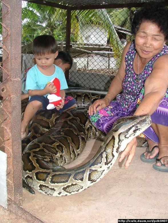 Panama Silvestre: Boa constrictor Boidae