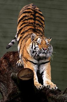 동물꿈해몽 사자,호랑이를 타고 달리는꿈