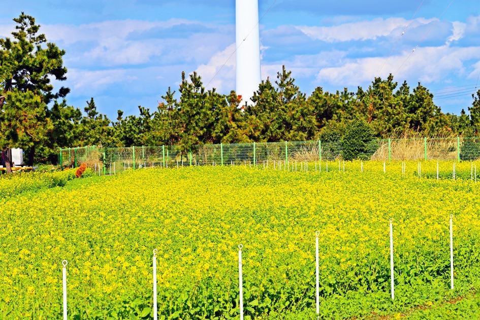 菜の花が咲いホミ岬新千年公園