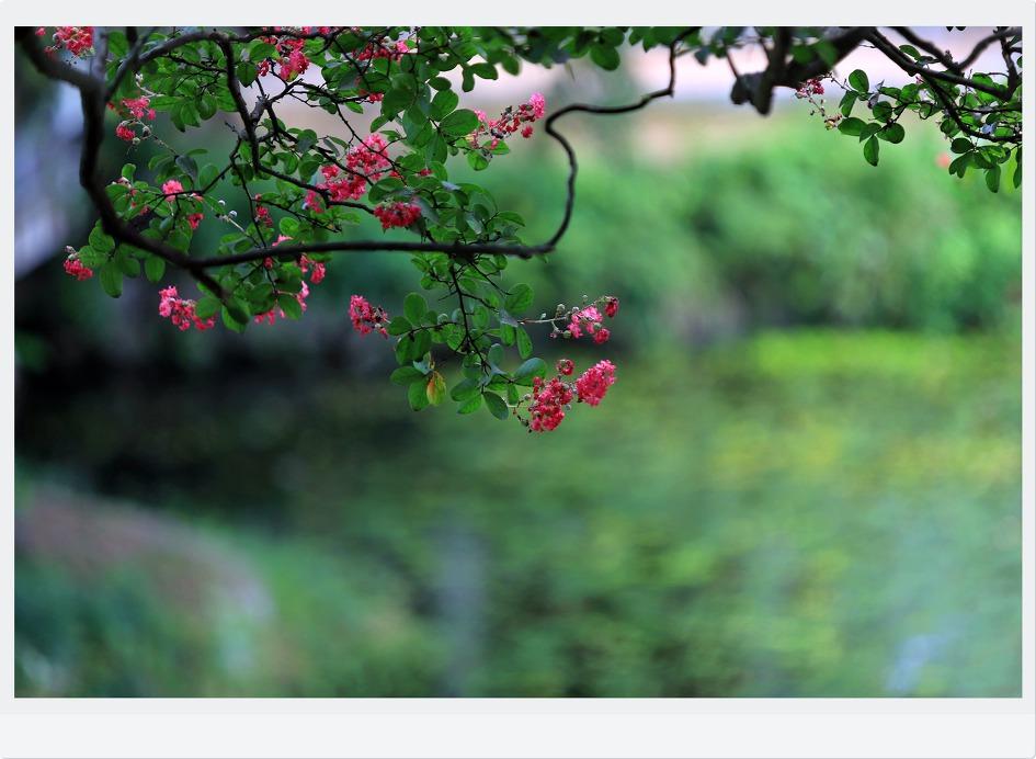 함안무진정배롱나무