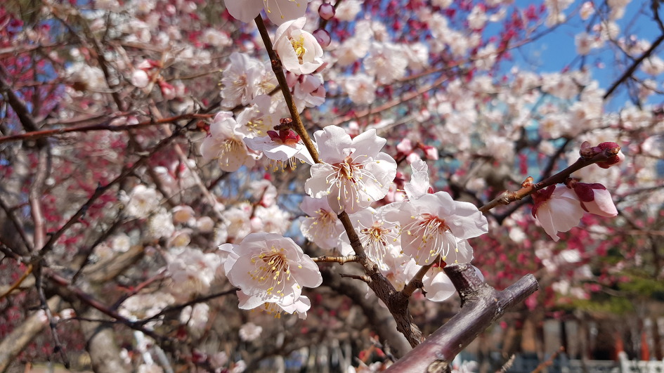 Daegu Spring Flower News-Apricot tree (Pedestrian), flower, efficacy, classification method, enzyme, apricot wine with anti-cancer action of spring in the National Treasury Compensation Movement Memorial Park.